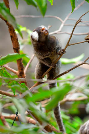 Marmoset is the smallest monkey found in the Amazon