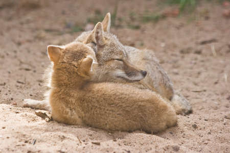 Two swift foxes, adult female with kid