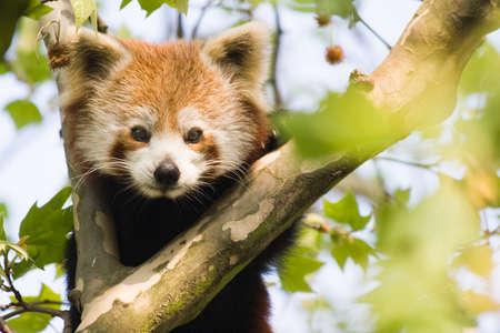 Red panda climbing in a tree and looking curious