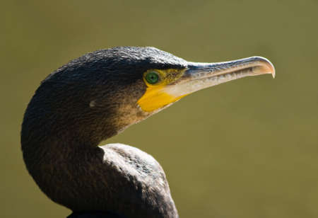 Portrait of Great cormorant in afternoon sun at the waterside