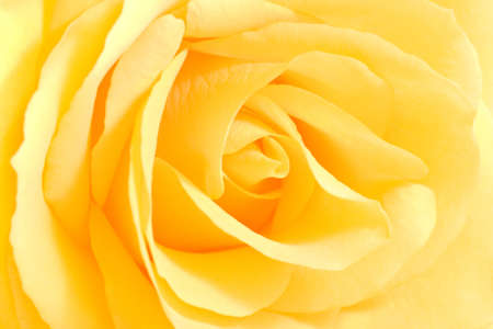 Soft yellow rose in close view - horizontal image