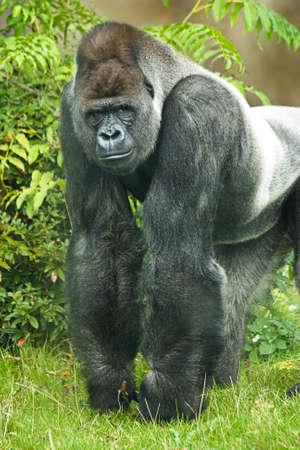 Portrait of Silverback gorilla looking straight into camera
