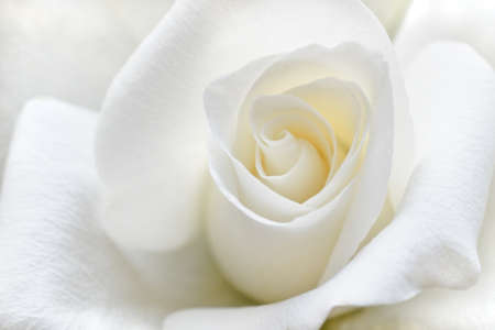 Beautiful rose with soft white petals in close view