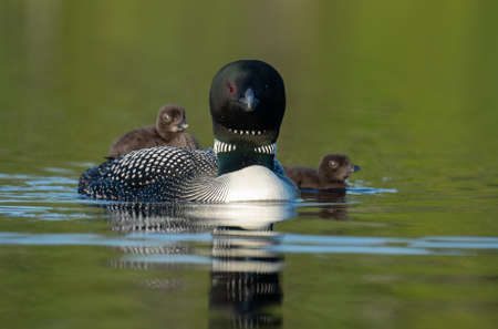 Photo for A common loon in Maine - Royalty Free Image