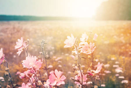 Foto de Summer landscape with wild mallow. Flowering meadow in the sunlight. - Imagen libre de derechos