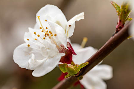 Blooming cherry. Beautifully blossoming cherry branch. Closeup of cherry blossoms. Cherry blossom branch in spring season.