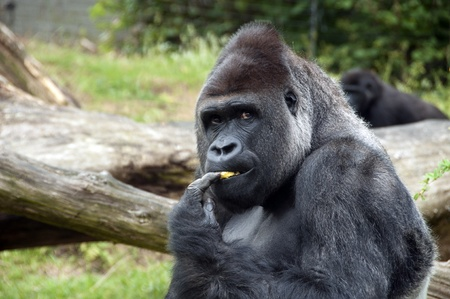 Male gorilla eating fruit in zoo