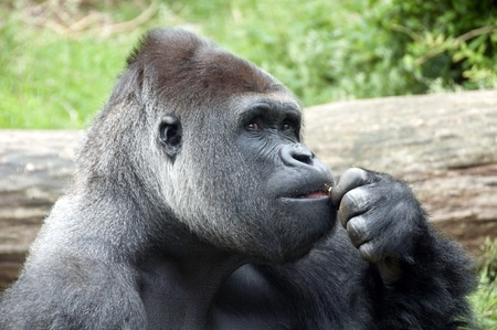 Gorilla with bown eyes thinking what to do