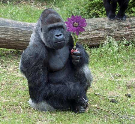 male Gorilla eating nectarine fruit