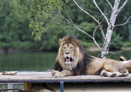 african  lion on top of car