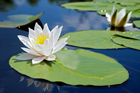 Foto de White lily in water on the lake - Imagen libre de derechos