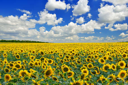 Sunflower field against a bl