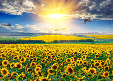 Photo pour Sunflower field against the dramatic sky and a rising sun - image libre de droit