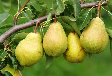 Foto für Four Delicious Pears - Lizenzfreies Bild