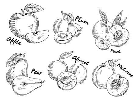 Illustration pour Sketch of apple and plum, pear and apricot - image libre de droit