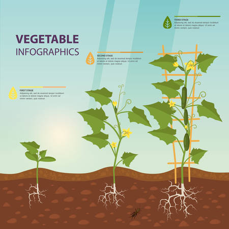 Illustration for Cucumber or cuke on creeping vine infographic - Royalty Free Image