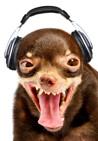 Ridiculous dog DJ. Russian toy-terrier.