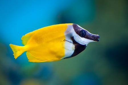 Photo pour Siganus vulpinus in an aquarium on a green background - image libre de droit