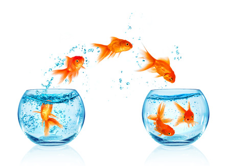 Foto de Goldfish jumping out of the aquarium isolated on white background. Search of freedom. - Imagen libre de derechos