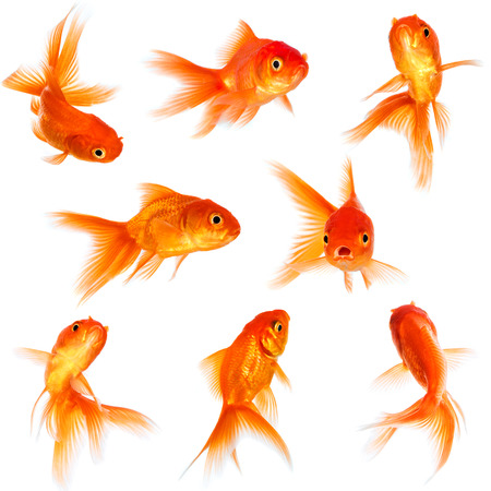 Foto de Gold fish isolated on a white background. - Imagen libre de derechos