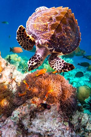 Foto de Hawksbill Turtle - Eretmochelys imbricata floats under water. Maldives Indian Ocean coral reef. - Imagen libre de derechos