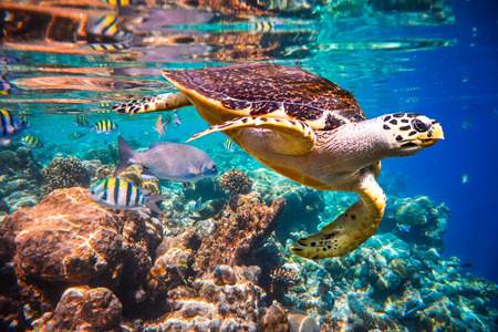 Hawksbill Turtle - Eretmochelys imbricata floats under water.