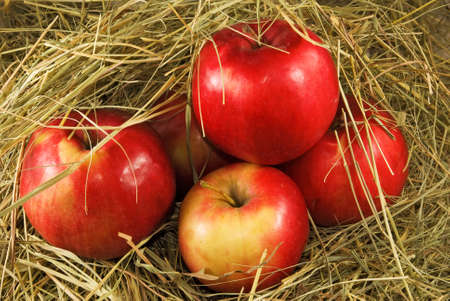 ripe red apples in dry grass closeup