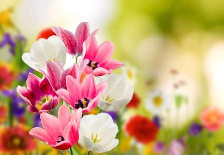 Photo pour Image of many flowers of tulips in a garden closeup - image libre de droit