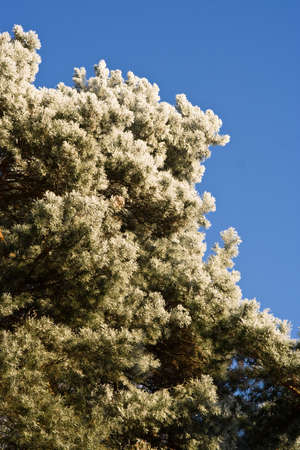 glazed frost on a pine