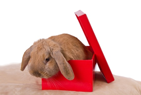 rabbit in a red present box