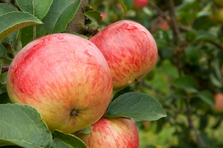 Photo for apples on tree - Royalty Free Image