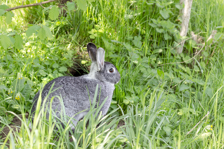 a gray cute rabbit is sitting in front of his rabbit hole
