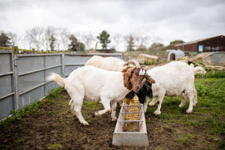 Foto de White and brown goats calmly eating grain in a farmyard - Imagen libre de derechos