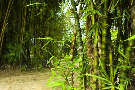 Asian Bamboo forest in hong kong for texture