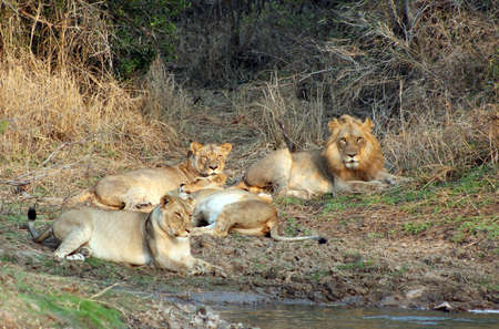 Lion pride relaxing after a satisfying meal