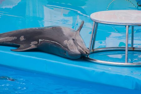 Photo for Cute sad trained dolphin performs in dolphinarium, aquarium. wild animals in poor conditions. animal cruelty, abuse, wildlife conservation, greenpeace, animal welfare - Royalty Free Image