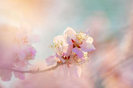 Photo pour peach blossom bloom - image libre de droit