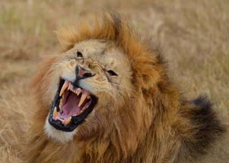 Roaring Lion in the Ngorongoro National Park, Tanzania