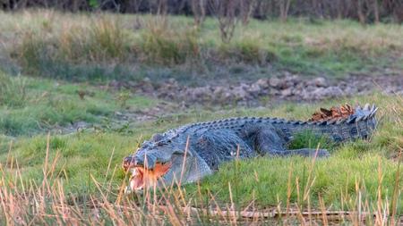 Photo pour shot of a huge saltwater crocodile on a bank at corroboree billabong - image libre de droit