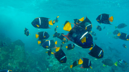 Photo pour school of king angelfish at the devils crown in the galapagos - image libre de droit