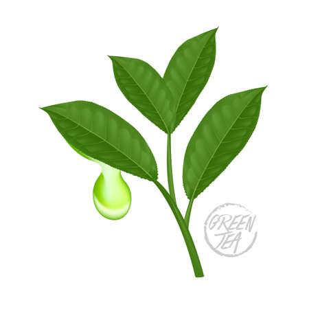 Ilustración de The Premium green tea for good health vector illustration. - Imagen libre de derechos
