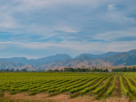 new zealand vineyard with misty blue hills backdrop