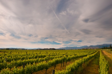 new zealand vineyard under dramatic cloudy sky
