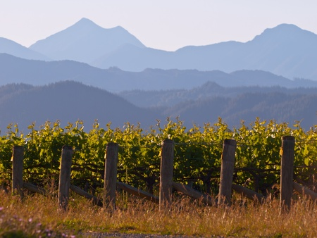 A view of a vineyard with misty mountains backdrop