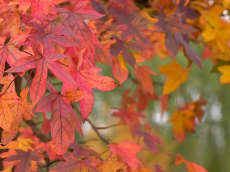 Maple leafs in many colors during fall