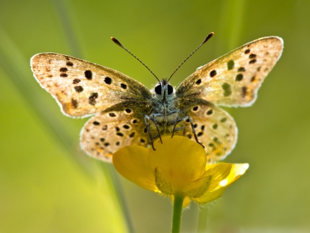 Photo pour Sun Shines through Wings of Sooty Copper Butterfly (Lycaena tityrus) Basking in the Sun - image libre de droit