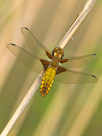 Beautiful Wild Broad-bodied Chaser Dragonfly (Libellula depressa)