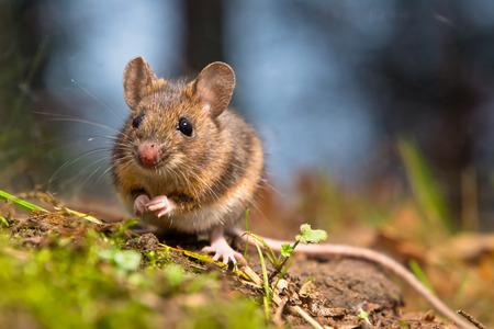Foto für Wild wood mouse sitting on the forest floor - Lizenzfreies Bild
