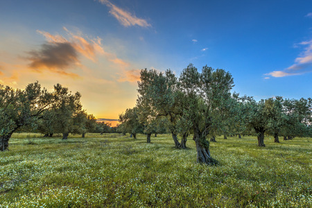 Rising morning sun over olive grove near Skala kallonis on Lesbos island, Greece