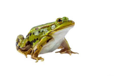 Beautiful and strong Pool frog male (Pelophylax lessonae) isolated on white background